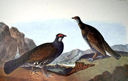 Long-Tailed Dusky Grouse