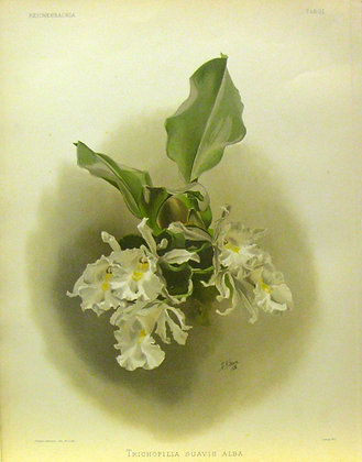 Plate 031: Trischopilia suavis alba