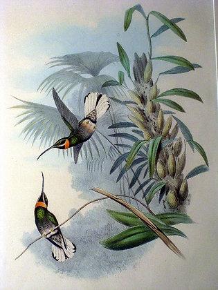 Plate 013: Threnetes Leucurus
