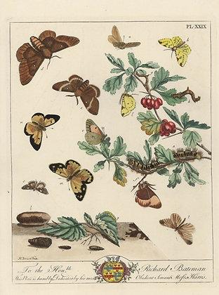 Plate 029 Great Egger Moth, Brimstone Moth