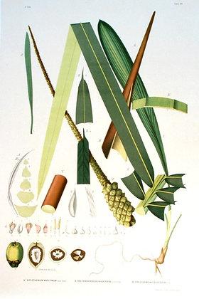 Plate 189: Maritmum, A. Polyandrococos Caudescens
