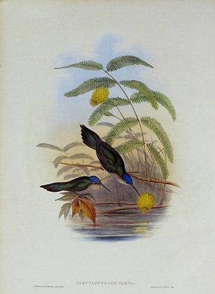 Plate 043: Campylopterus Pampa