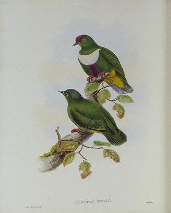 Plate 559: Ptilopus Rivolii