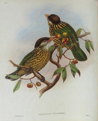 Plate 141: Ailuroedus Buccoides