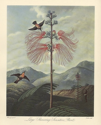 Plate 15: Large Flowering Sensitive Plant