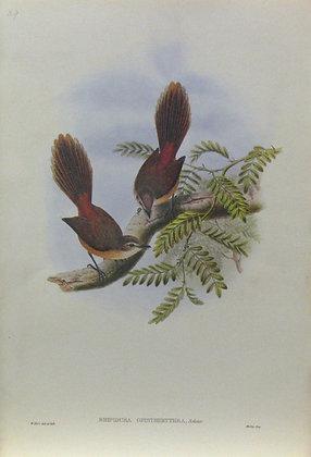 Plate 229: Rhipidura Opistherythra
