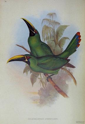 Plate 050: Aulacoramphus Atrogularis