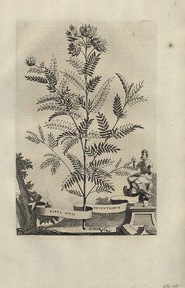 Plate 053: Barba Jovis recentiorum