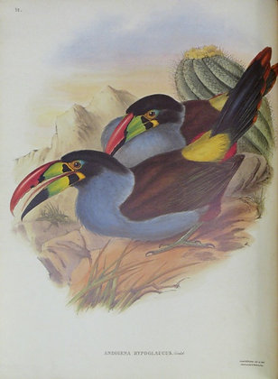 Plate 038: Andigena Hypoglaucus