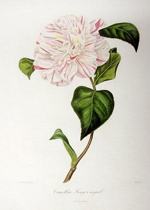 Camellia Kings Royal