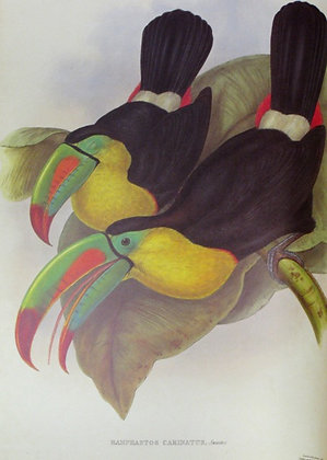 Plate 002: Ramphastos Carinatus