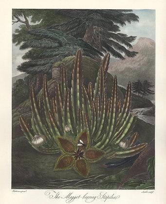 Plate 05: The Maggot-bearing Stapelia