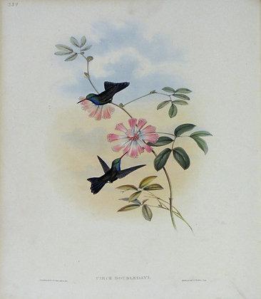Plate 339: Circe Doubledayi