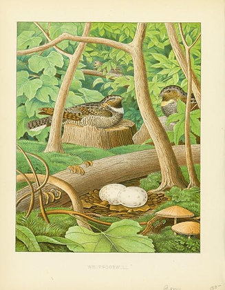 Plate 23: Whippoorwill