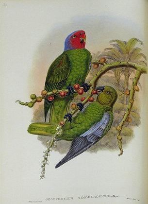 Plate 530: Geoffroyius Timorlaoensis