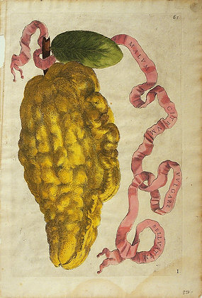 Plate 65: Malum Citreum Vulgare Belluatum