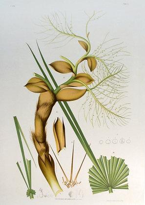 Plate 105: Trithrinax Biflabellata