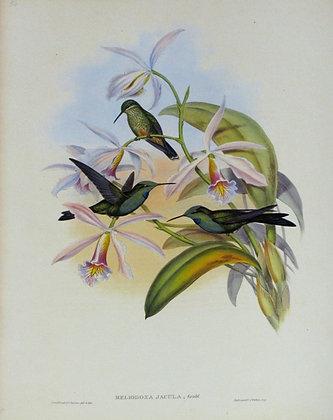 Plate 094: Heliodoxa Jacula