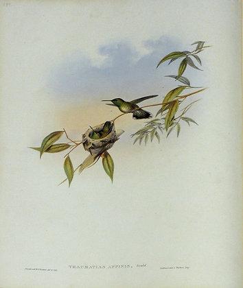 Plate 299: Thaumatias Affinis