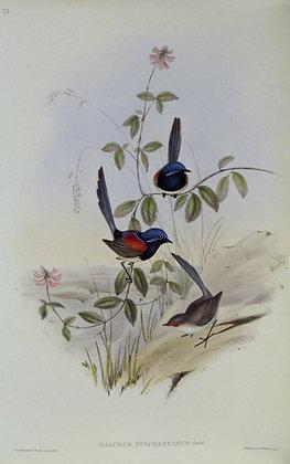 Plate 323: Malurus Pulcherrimus