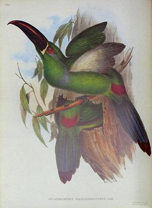 Plate 044: Aulacoramphus Castaneorhynchus