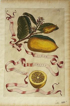 Plate 287: Limon Citratus Silvestris