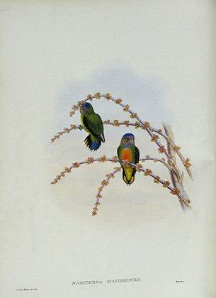 Plate 522: Nasiterna Maforensis