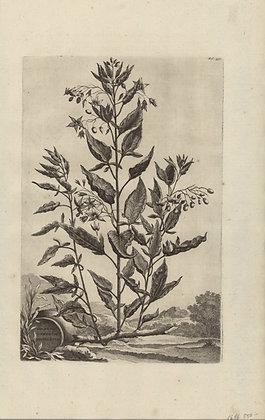 Plate 156: Solanum lignosum variegatum