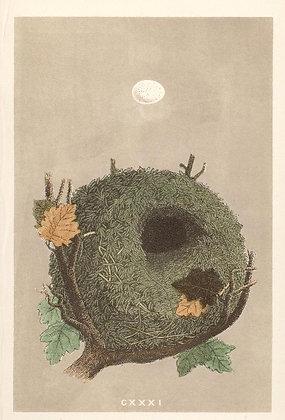 Plate 131: Wren