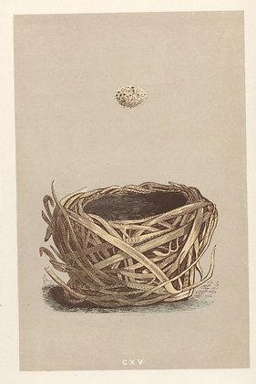 Plate 115: Savi's Warbler