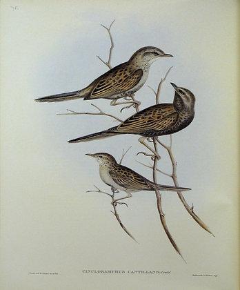 Plate 375: Cincloramphus Cantillans