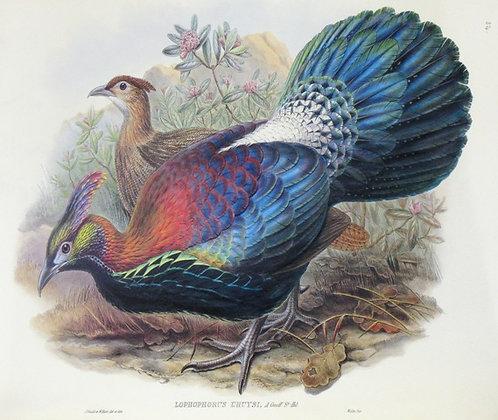 Plate 754: Lophophorus I'Huysi
