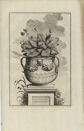 Plate 113: Auricula ursi borraginoides