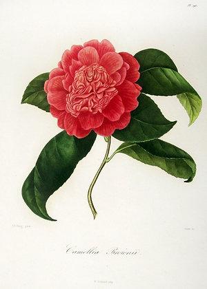 Camellia Brownii