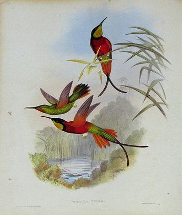 Plate 066: Topaza Pella