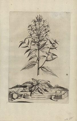 Plate 159: Flos Cardinalis