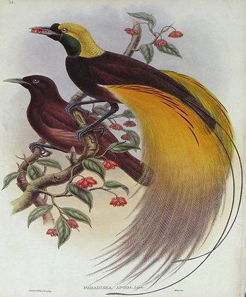 Plate 130: Paradisea Apoda