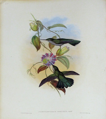Plate 049: Campylopterus Obscurus