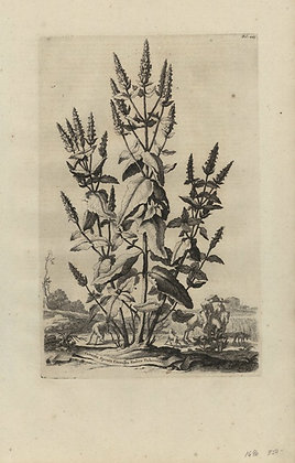 Plate 120: Cattaria spicata coerulea radice tubero