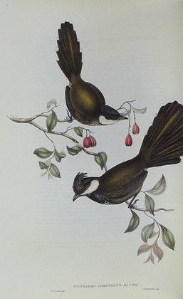 Plate 315: Psophodes Crepitans