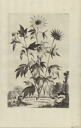 Plate 154: Doronicum Americanum