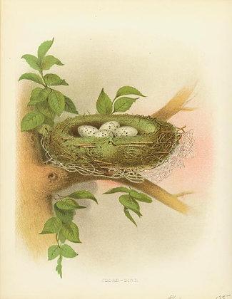 Plate 01: Cedar-Bird