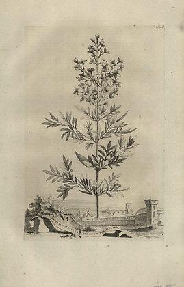 Plate 056: Jasminum Persicum coeruleum tenuifolium