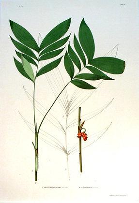 Plate 245: A. Amylocarpus Inermis