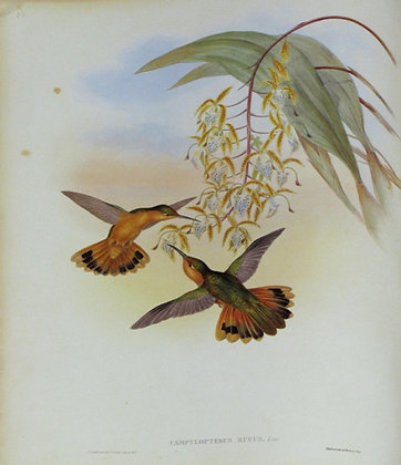 Plate 050: Campylopterus Rufus