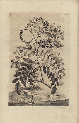 Plate 008: Acacia major