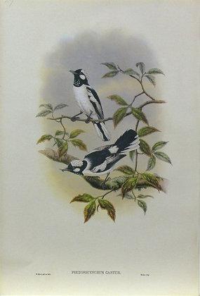 Plate 247: Piezorhynchus Castus