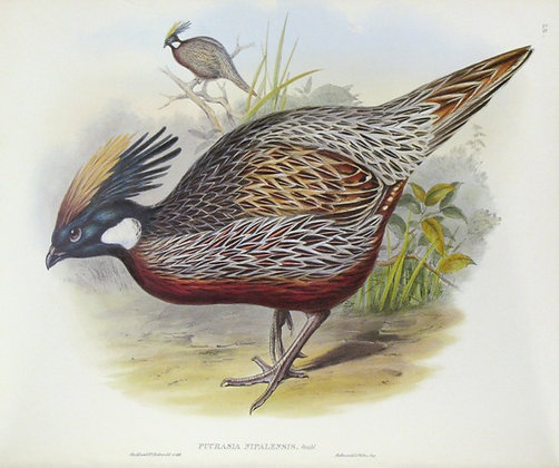 Plate 728: Pucrasia Nipalensis