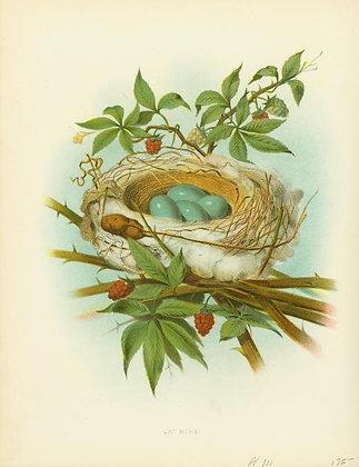 Plate 03: Catbird