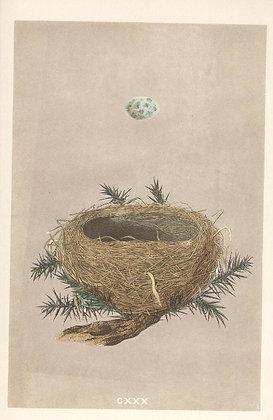 Plate 130: Dartford Warbler